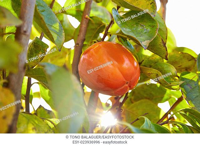 persimmon khaki fruit in the field tree with leafs