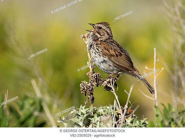 Song Sparrow (Melospiza melodia), Montana de Oro State Park, California