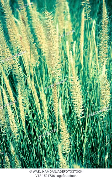 common reed Phragmites communis, Cat-tail