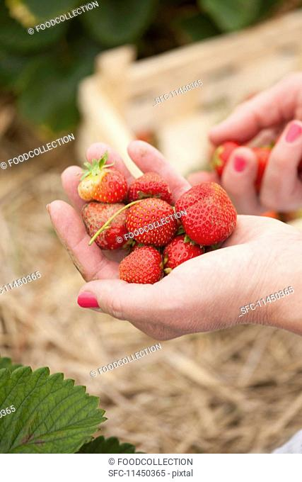 A woman holding freshly picked strawberries