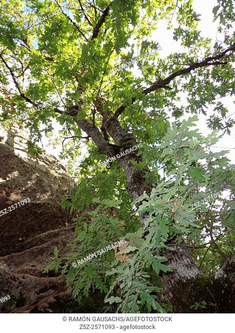 Oak tree (Quercus pyrenaicum). Catalonia, Spain