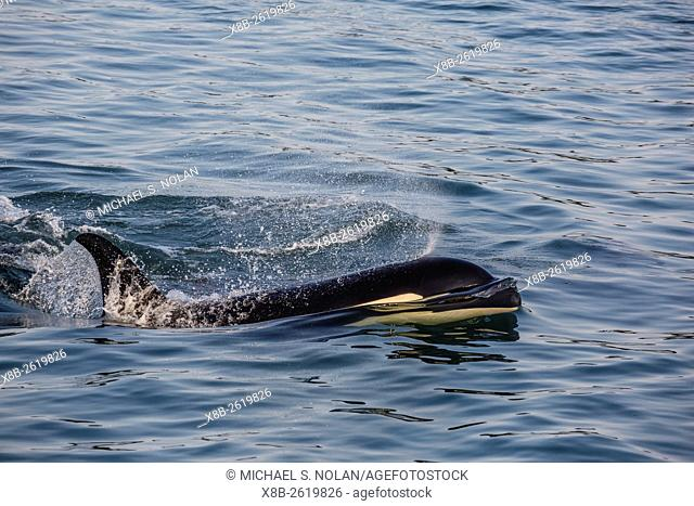 An adult killer whale, Orcinus orca, surfacing in Glacier Bay National Park, Southeast Alaska, USA