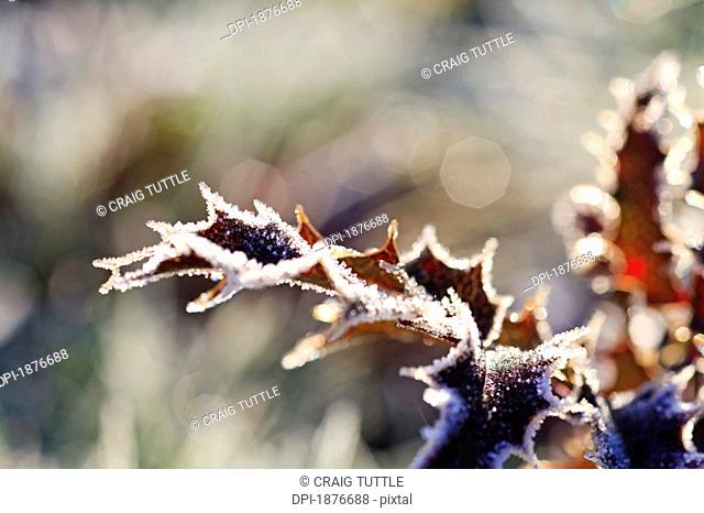 Oregon, United States Of America, Frost On Autumn Leaves