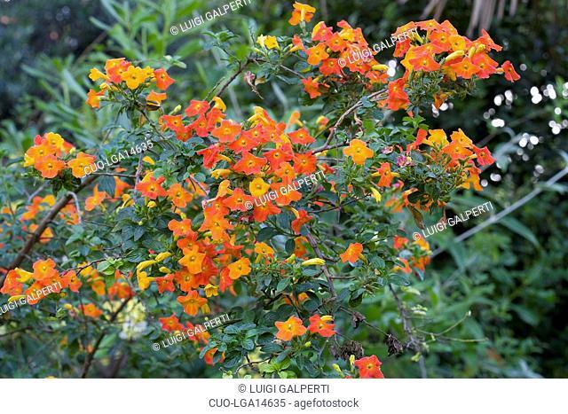 Streptosolen jamesonii, marmalade bush