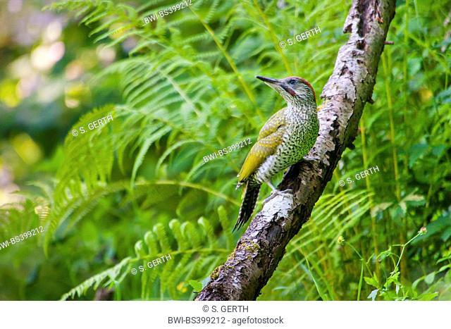 green woodpecker (Picus viridis), young green woodpecker sits on a branch, Switzerland, Sankt Gallen
