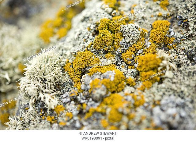 Arctic flora and fauna, lichen, Chirpoy Island Kuril Islands/ Bering Sea, Russia, Asia