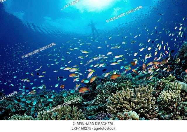 Coral Fishes and Snorkeler, Pseudanthias, Chromis, Maldives, Indian Ocean, Meemu Atoll