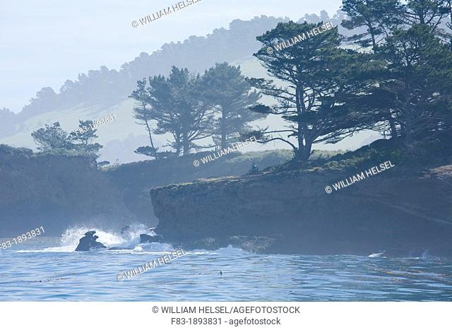 Coal Chute Point and Whalers' Cove, Point Lobos State Reserve, Monterey County, California, USA, on a foggy morning, Monterey pine Pinus radiata and Monterey...