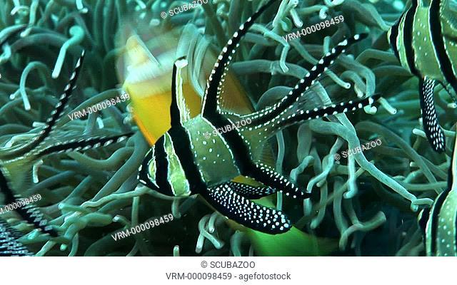 CU Benggai cardinalfish Pterapogon kauderni cardinals. Kungkungan Bay Resort KBR, Lembeh Strait, Sulawesi, Indonesia