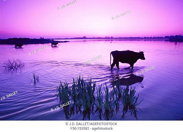 Cows at Boca del Lobo, Doñana Narional Park. Huelva province, Andalucia, Spain
