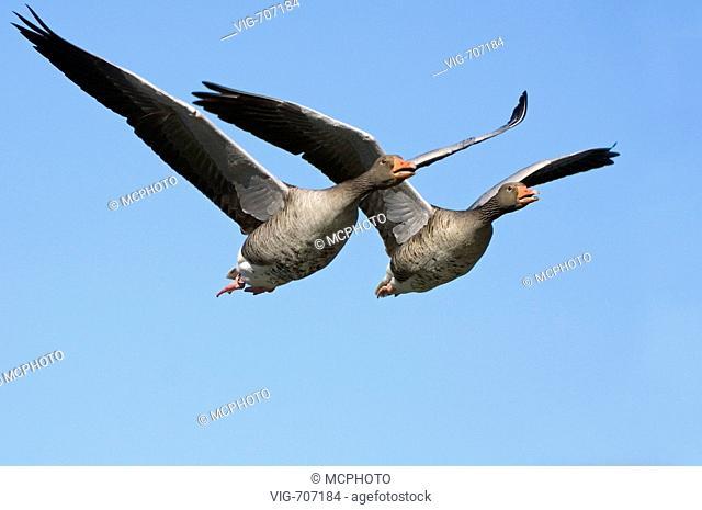 Graugans (anser anser) fliegend, Paar, zwei, Greylag Goose - Hannover, Mecklenburg Vorpommern, GERMANY, 04/04/2007