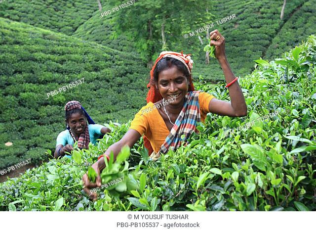 Women tea pluckers work at tea garden at Srimangal, Bangladesh Tea is a major industry in Bangladesh and grows in the low hills of Chittagong and Sylhet There...