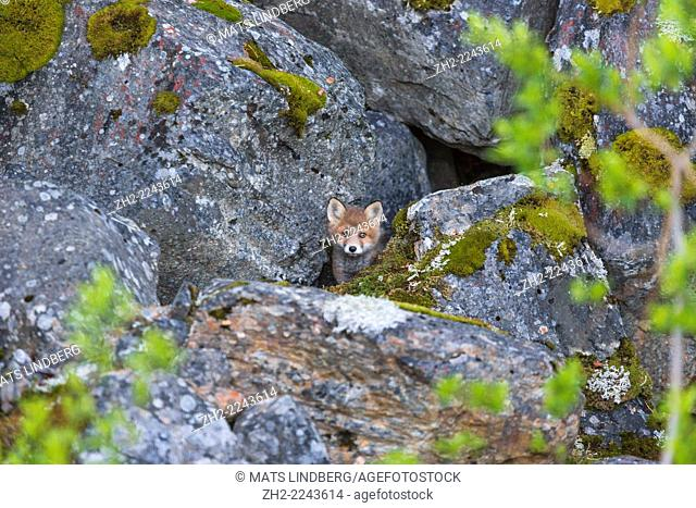 Redfox puppy, Vulpes vulpes, looking out from his nest, Kvikkjokk, Swedish lapland, Sweden