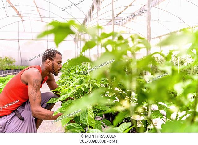 Worker inspecting bell pepper plants in Hydroponic farm in Nevis, West Indies