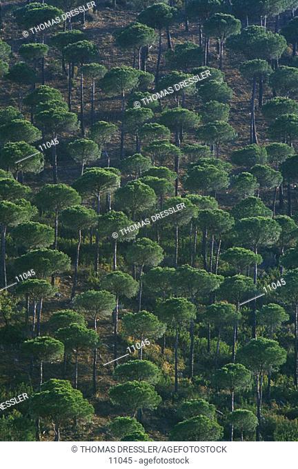 Stone Pines (Pinus pinea). Sierra Morena. Seville province. Spain