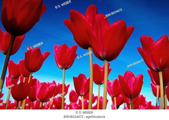 common garden tulip (Tulipa gesneriana), red blossoms against blue sky, Netherlands