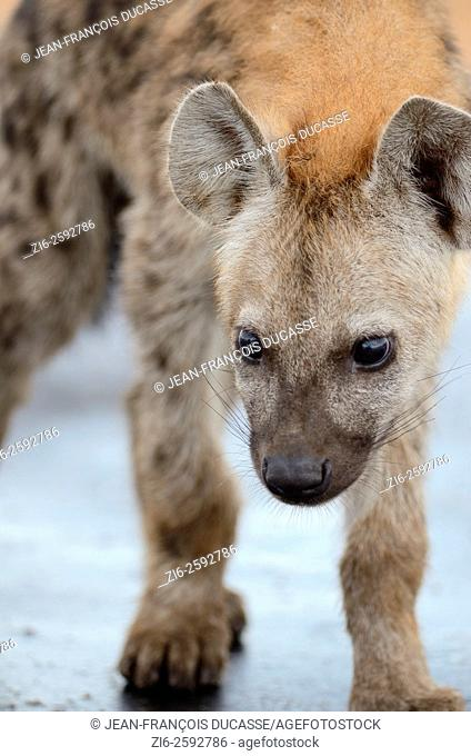 Spotted hyena (Crocuta crocuta) cub, standing on a wet road, after the rain, Kruger National Park, South Africa, Africa