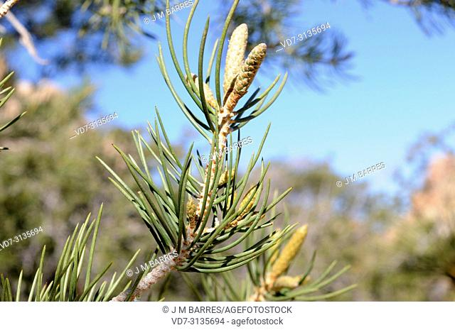 Single-leaf pinyon (Pinus monophylla) is a coniferous tree native to western USA and Baja California (Mexico). Leaves detail