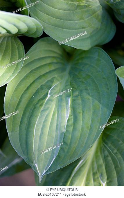 Green foliage with white strip giving the plant its name