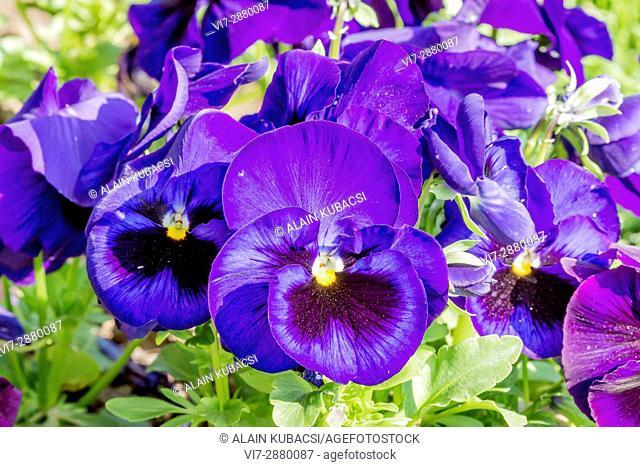Large-Flowered Pansy / Viola x wittrockiana Matrix F1 Deep Blue Blotch