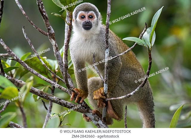 A Squirrel monkey in a tree in the rain forest near La Selva Lodge near Coca, Ecuador