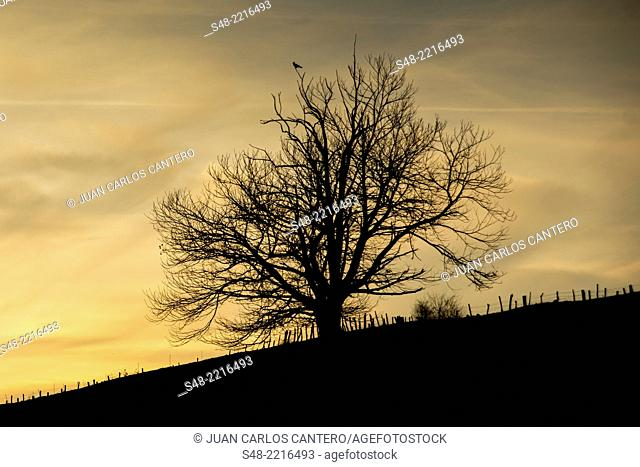 Tree backlit in the Cantabrian. Spain. Europe