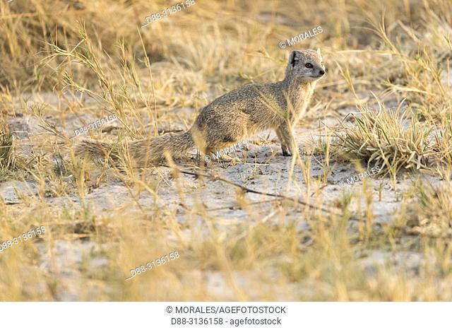 Africa, Southern Africa, Bostwana, Central Kalahari Game Reserve, Yellow mongoose (Cynictis penicillata)