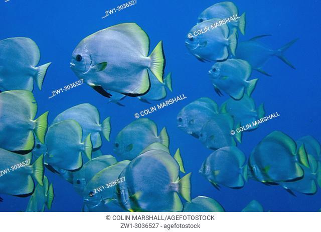 School of Golden Spadefish (Platax boersii), Too Many Fish dive site, Koon Island, Maluku (Moluccas), Banda Sea, Indonesia