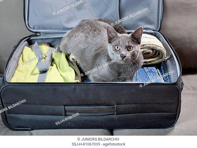 Chartreux cat. Kitten lying in a suitcase. Germany