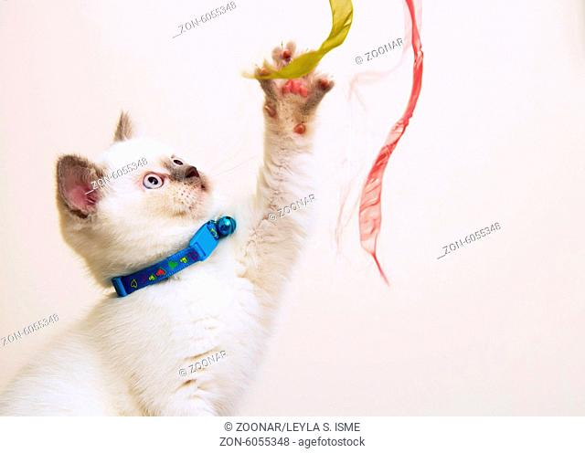 White and Brown British Shorthair Kitten Playing W