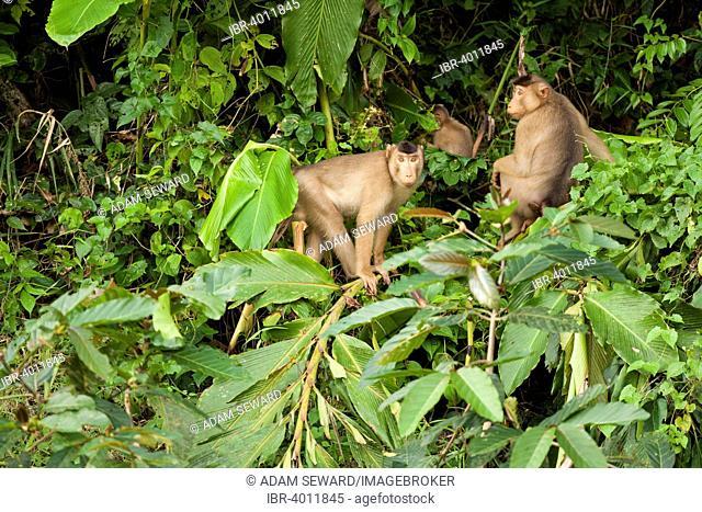 Southern Pig-tailed Macaques (Macaca nemestrina), group, Kinabatangan, Sabah, Borneo, Malaysia