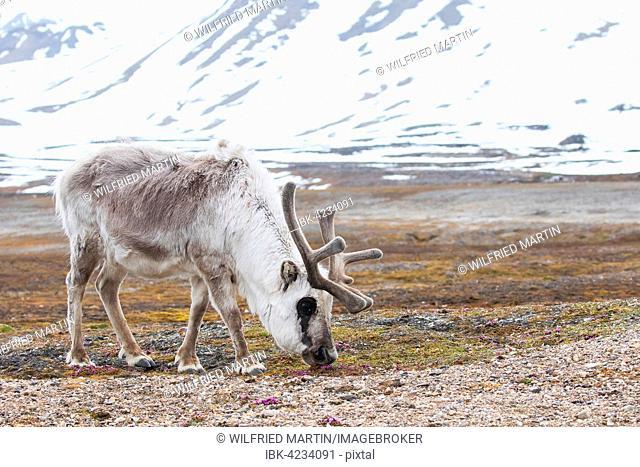 Svalbard reindeer (Rangifer tarandus platyrhynchus), foraging, Spitsbergen, Norway