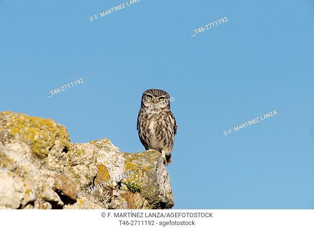 Little owl (Athene noctua). Parque Regional del Rio Guadarrama, Madrid province, Spain