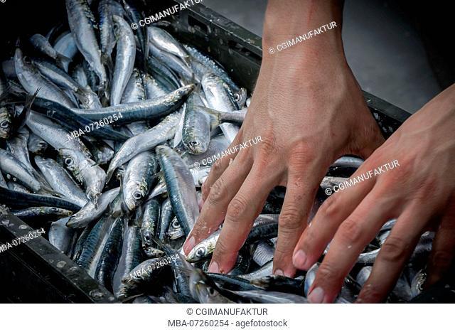Sardines, fisherman, detail, hands, close-up