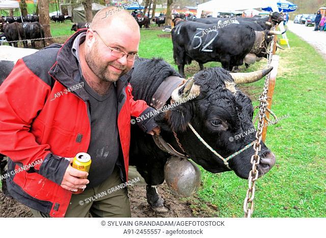Switzerland, Valais, Val d'Herens, village of Evolene, spring ''queens'' Reines cows fighting in Les Hauderes
