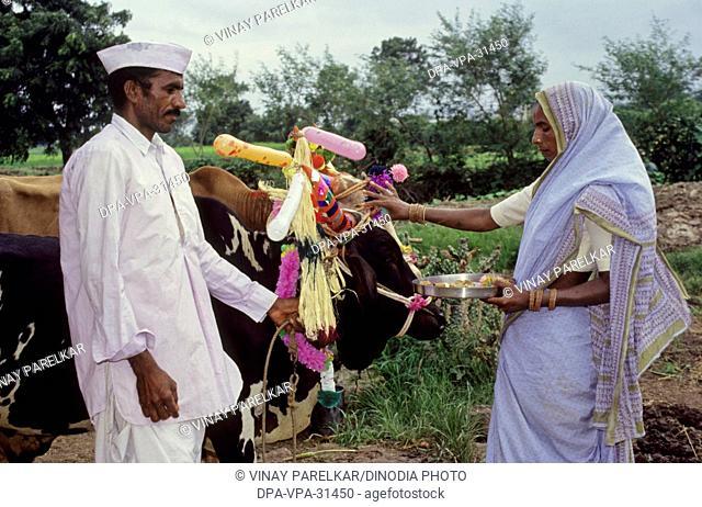 Pola festival bullocks in maharashtra ; india