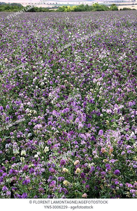 Field of lucerne into flower, use as green manure, fertilizer