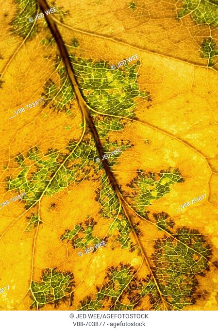Backlit close up of partially brown autumnal leaf revealing patterns and texture
