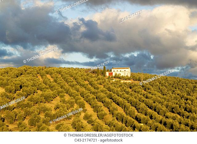 Cultivated olive trees (Olea europaea) and farmhouse. Málaga province, Andalusia, Spain