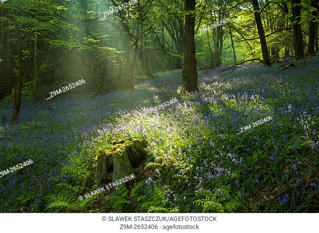 Spring morning in a bluebells woodland near Horsham, West Sussex, England