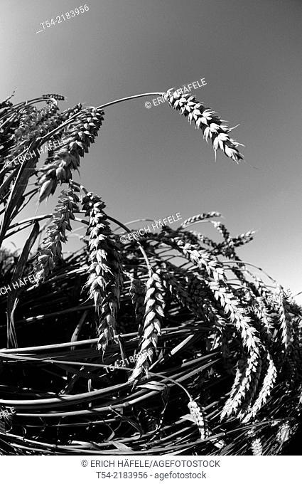 Ripe wheat ears on a field in Bavaria