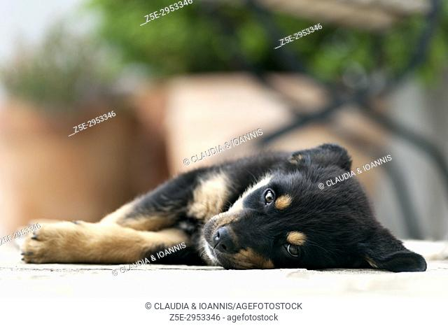 Front view of a Rottweiler puppy lying outdoors and looking at camera