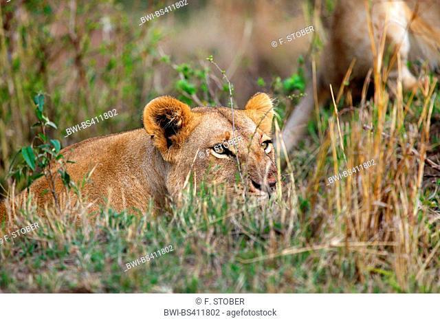 lion (Panthera leo), lioness lies in ambush, Kenya, Masai Mara National Park