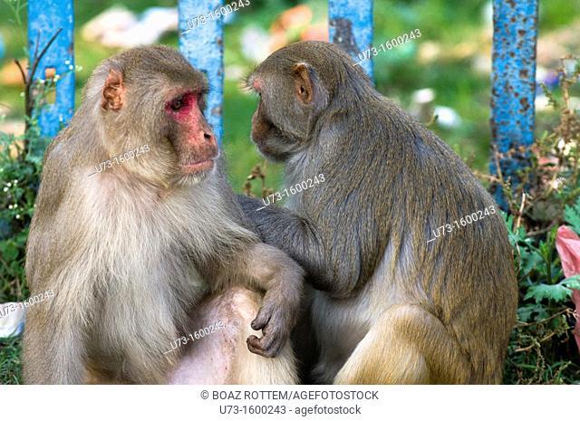 Rhesus Macaque monkeys grooming each other