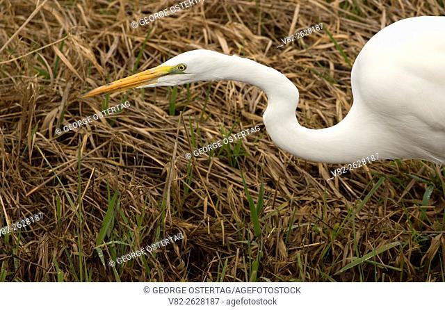 Great egret, Ridgefield National Wildlife Refuge, Washington