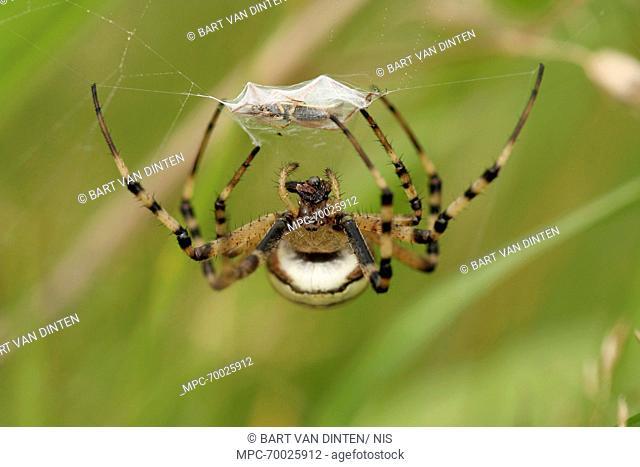 Wasp Spider (Argiope bruennichi) with mummified prey, Gassel, Noord-Brabant, Netherlands