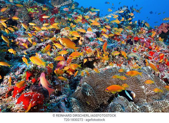 Lyretail Anthias in Coral Reef, Pseudanthias squamipinnis, Felidhu Atoll, Maldives