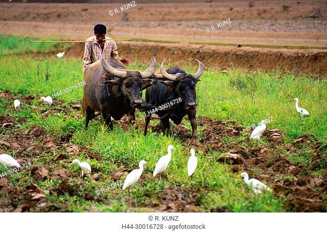 Rice field, farmer, team of oxes, water ox, plowing, Cattle Egrets, Bubulcus ibis, Ardeidae, Egret, bird, animal, mammal, Sri Lanka