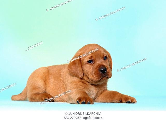 Labrador Retriever. Puppy (5 weeks old) lying. Germany. Studio picture seen against a turquoise background