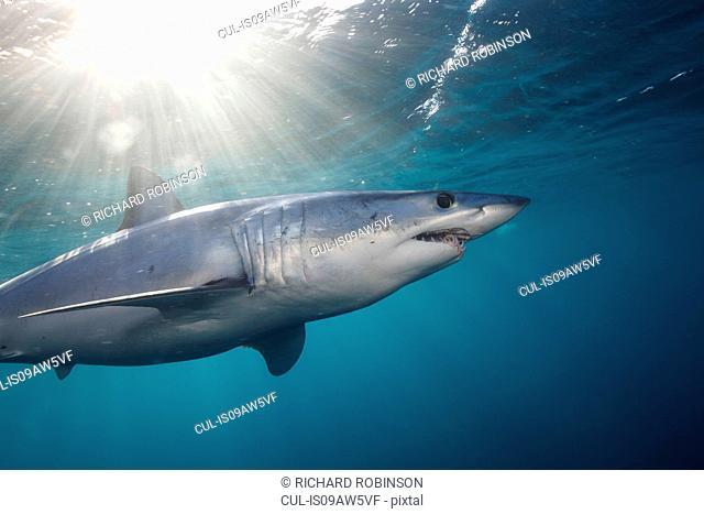 Underwater view of shortfin mako shark (Isurus oxyrinchus) swimming below sunbeam, West Coast, New Zealand